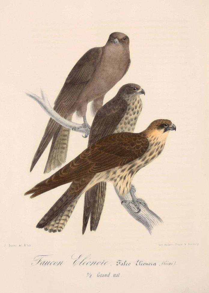 jaubert-et-barthelemy-lapommeraye-richesses-ornithologiques-du-midi-de-la-france-ou-description-methodique-de-tous-les-oiseaux-observes-en-provence-et-des-departements-circonvoisins-marseille-barlatier-feissat-et-demonchy-1859--214